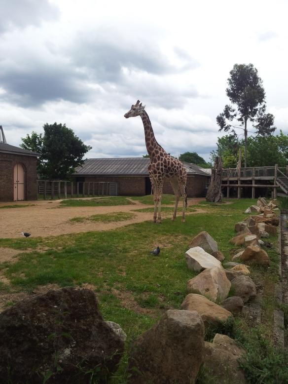 Giraffe, clearly.